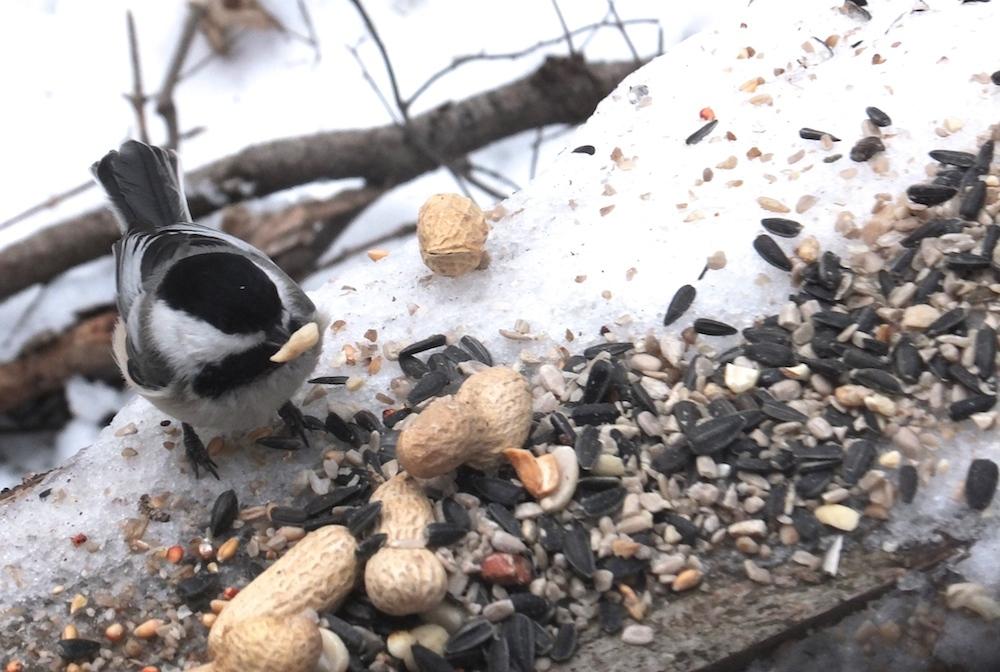 Last Saturday feeding the birds in Whitemud