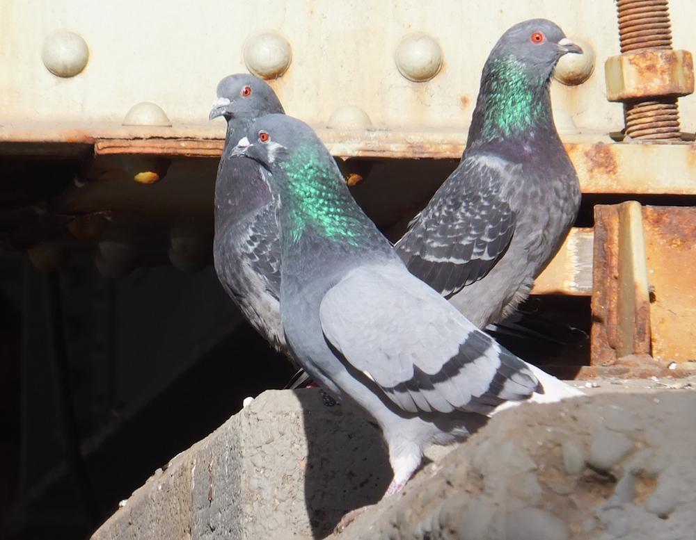 pigeon-sex-ameture