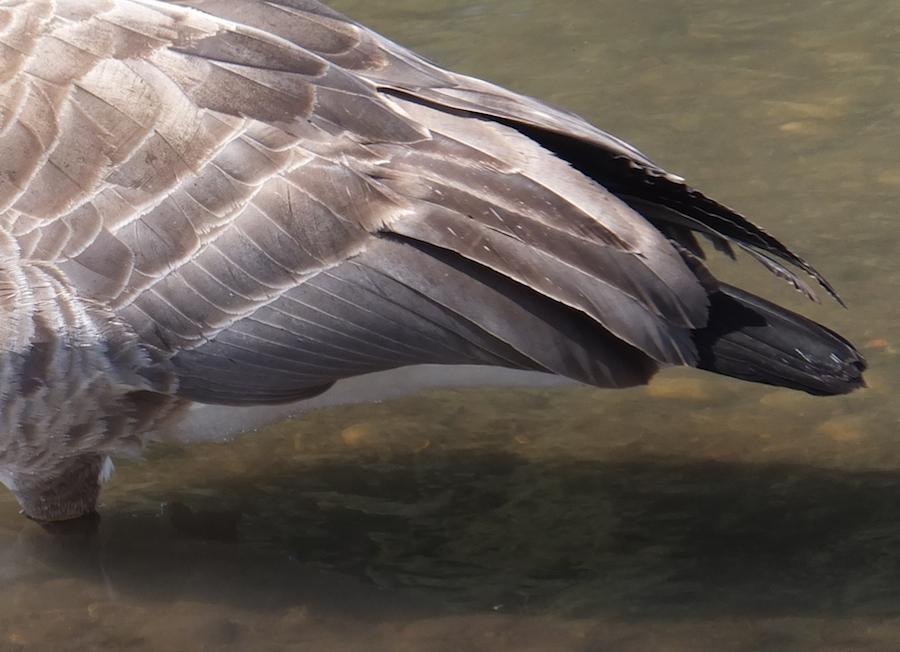 Goosetail