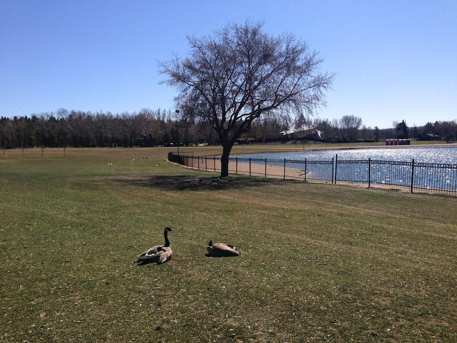 Hawrelak geese