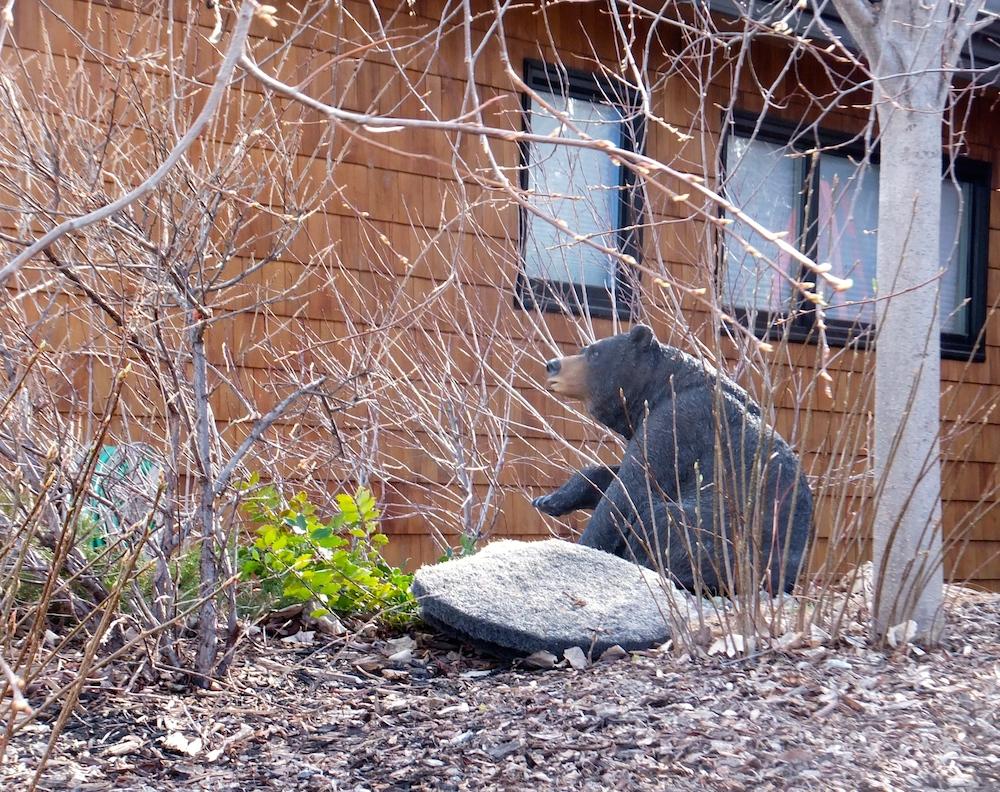 Bear sighting in Valleyview