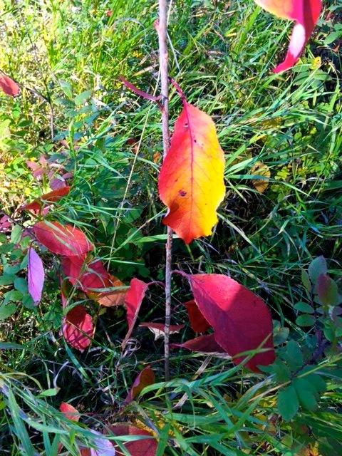 whitemud-red-leaves