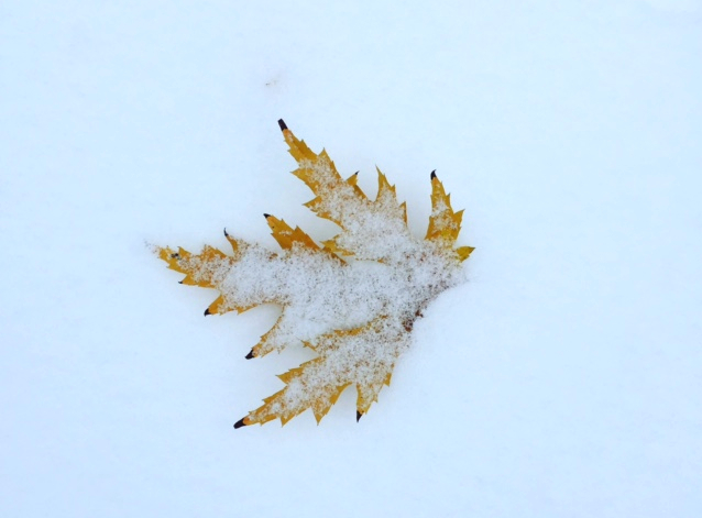 yellow-leaf-in-snow