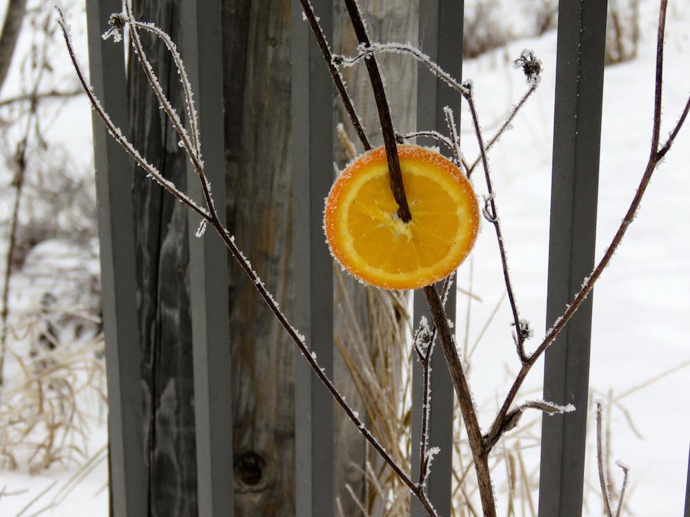 Hoar orange