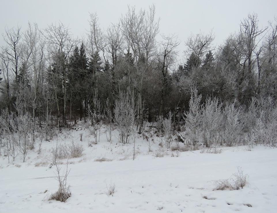 Hoar trees